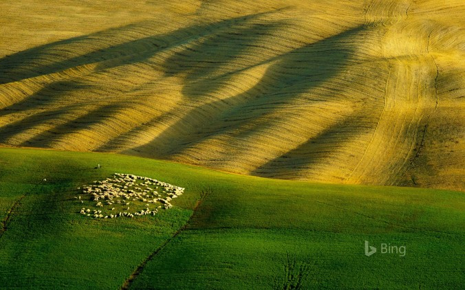 Flock of sheep grazing on green grass, Tuscany